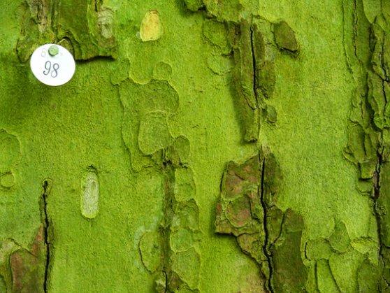 Grüne Baumrinde